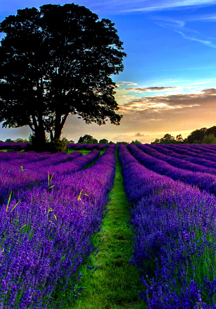 Lavender fields sunset